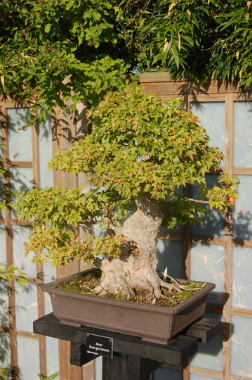 Acer buergerianum - bonsai (Acer buergerianum)