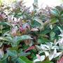 Trachelospermum jasminoides 'Tricolor'