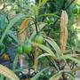 Solanum laciniatum (Kangaroo Apple) (Solanum laciniatum)