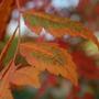 Koelreuteria paniculata (Koelreuteria paniculata)