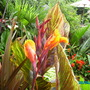 My Canna Flowered