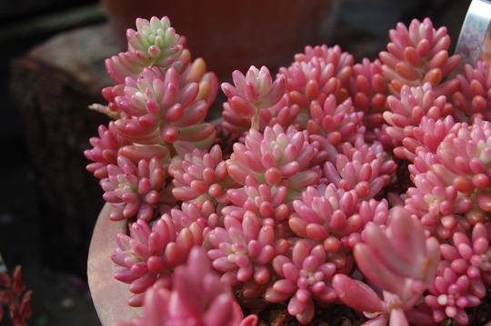 Sedum x rubrotinctum (sedum x rubrotinctum)