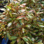 Coprosma 'Rainbow surprise' (Coprosma 'Rainbow surprise')
