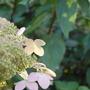 Hydrangea paniculata 'Greenspire' (Hydrangea paniculata 'Greenspire')