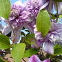 clematis on arch. (Clematis josephine)