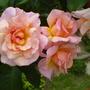 Rose (rose compassion)
