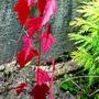 Acer ginnala (Amur Maple) sapling (Acer ginnala)