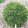 Picea_sitchensis_nana