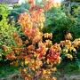 Acer ginnala tree (Acer ginnala)