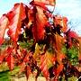 Acer ginnala leaves (Acer ginnala)