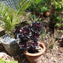 Potted Plants (Aeonium)