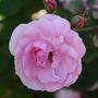 Rose (Rose Pink)