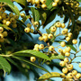 Cotoneaster exburiensis