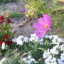 Cosmos verbena Dianthus