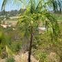 Syagrus botryophora - Pati Queen Palm (Syagrus botryophora - Pati Queen Palm)