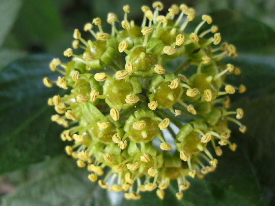 Ivy seed head  (Ivy)
