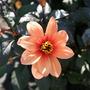 Dahlia 'Orange' (Dahlia Pinnata (Dahlia))