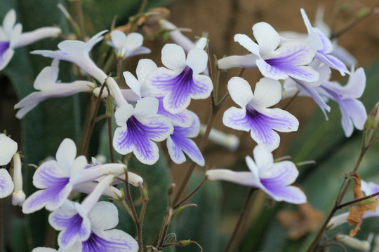 'Crystal Ice' (Streptocarpus 'Crystal Ice')
