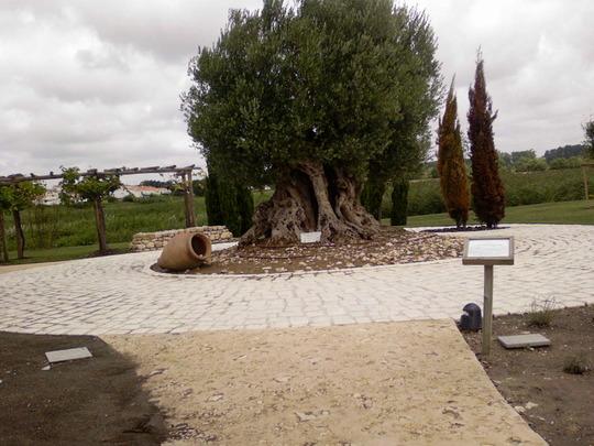 Olive tree  (Olea europaea (Aceituna))