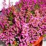 My new Erica gracilis (Erica gracilis)