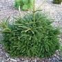 Picea_orientalis_shadow_s_broom_