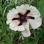 Poppy (Papaver orientale (Oriental poppy) Royal Wedding)