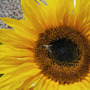 Giant Sunflower 2 (Genus : Helianthus, Species : annuus, Cultivar : 'Giant Single')