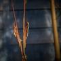 Black Bamboo in Flower (Phyllostachys nigra)