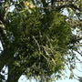Mistletoe_on_apple_tree