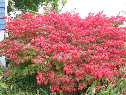 Burning Bush (Euonymus alatus (Winged spindle))