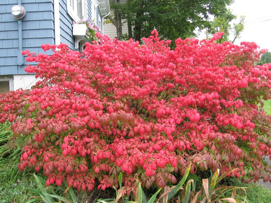 Burning Bush (Euonymus alatus (Winged spindle))
