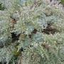 Artemisia schmidtiana (Mugwort)