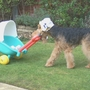 Pram and doll pushed at great speed by my veteran Welsh Terrier : ' Bonsai '.  He often won Best Trick competitions at charity dog shows with this Welsh Super-Nanny routine.
