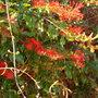 Unknown scarlet-flowering vine