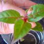 3 pair fuchsia leaf
