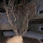Pome_granate_tree