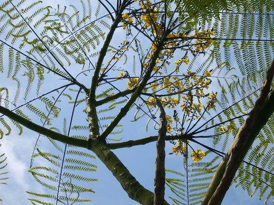 Schizolobium parahybum - Brazilian Fern Tree Flowers (Schizolobium parahybum)