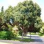 Ficus rubiginosa - Rusty Fig  (Ficus rubiginosa)
