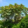 Ficus auriculata - Roxburgh Fig (Ficus auriculata)