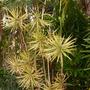 Dracaena marginata 'tricolor' (Dracaena marginata 'tricolor')