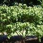 Bixa orellana - Achiote Tree (Bixa orellana)