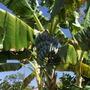 Musa 'White Iholena' - White Iholena Bananas (Musa 'White Iholena')