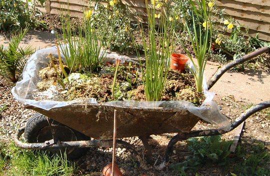 A garden flower photo (sarracenia flava (mainly))