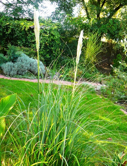 Pampas plumes (Cortaderia selloana (read more here))