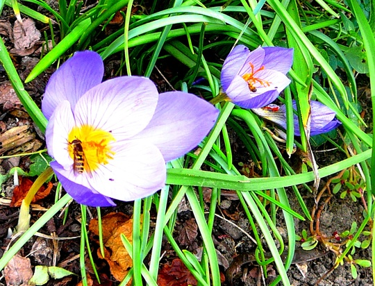 Autumn crocus complete with visitor (Crocus speciosus (large purple crocus))