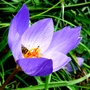 Autumn crocus (Crocus speciosus (large purple crocus))