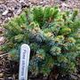 Picea_sitchensis_thomas_
