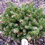 Picea_orientalis_mt._vernon_