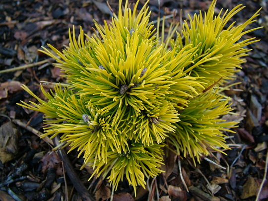 Pinus mugo 'Jalubi' (common name; Mugo pine, or Dwarf mountain pine)