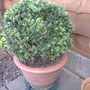 Box ball (Buxus sempervirens (Common box))